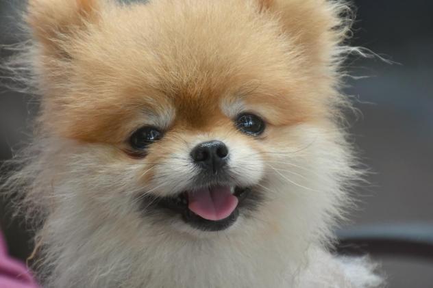 Adopted! Chico –  Pomeranian