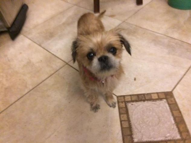 Adopted! Jewell – Pekingese & Pomeranian Mix